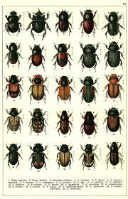 Black Beetle Identification Chart