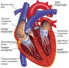 Курсовая работа Лечение осложнений инфаркта миокарда  АФО сердечно сосудистой системы