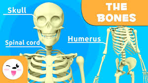The Skeletal System Educational Video About Bones For Kids
