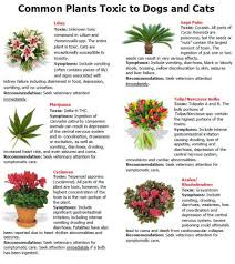 jimboomba vet lists plants toxic to pets cats and plants list poisonous plants for cats