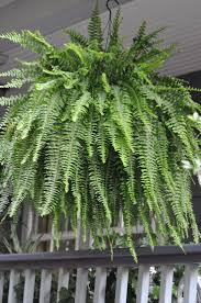 Boston fern in a moss lined wire basket on the front porch. I do these