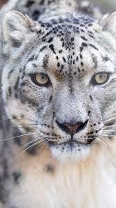 Snow Leopard HD Wallpaper 4K (Page 6 ...