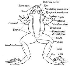 6fd79f7fe55f8913044209f410e0e7d6 what are frog name of frogs body part printable flashcard on on earthworm dissection lab worksheet answers