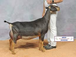 American Lamancha Breeders Association Home