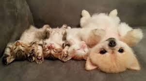 puppies and kittens sleeping. Interesting Puppies U201cfighting Like Cats And Dogsu201d Itu0027s A Phrase Weu0027ve All Grown Up With  But Do Dogs Fight This Dog Loves Lying There With Kittens Sleeping To Puppies And Kittens Sleeping