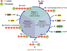 Biology The Light Dependent And Light Independent Reactions