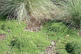 Thymus serpyllum 'Elfin' | California Flora Nursery