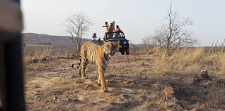 ways you can contribute to save wild india a tigress panthera tigris tigris code named t though born free is now