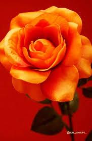 lovely rose flowers free