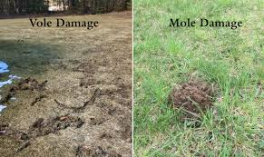 how to get rid of voles in garden. Beautiful Rid Voles U0026 Moles In Your Lawn To How Get Rid Of In Garden D