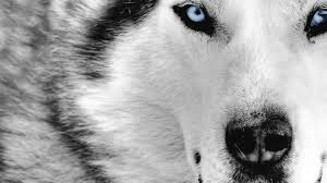 white wolf wallpaper. Unique Wolf Wolves Images Wolf Wallpaper HD And Background Photos Throughout White Wallpaper L