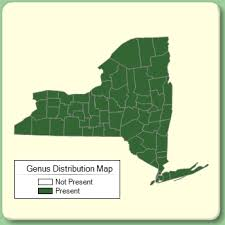 Viburnum - Genus Page - NYFA: New York Flora Atlas - NYFA: New ...