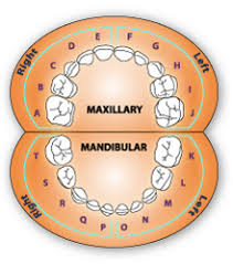Primary Tooth Chart Margarethaydon Com