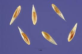 Plants Profile for Agrostis stolonifera (creeping bentgrass)