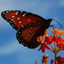 big pictures of butterflies. Perfect Butterflies Big Butterfly Count To Pictures Of Butterflies N