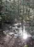 swamp pine
