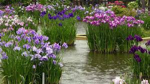 Image result for iris