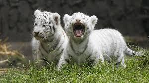 cute baby tiger wallpaper. Unique Baby Cute Baby Tiger Wallpaper To Cute Baby Tiger Wallpaper P