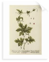bryonia alba by elizabeth blackwell