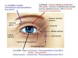 Eyelid Anatomy Focused Review Autonomic Innervation Of The Eye And Orbit I Orbit
