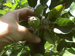 Fruit Thinning For Deciduous Fruit Trees In The Low DesertAz Fruit Trees