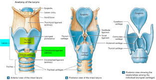 Larynx Chart Larynx Diagram Posterior World Of Reference