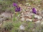 iris filifolia