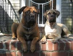 Bullmastiff Dog Breed Information And Pictures