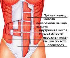 Мышцы брюшного пресса atletizm com ua Строение мышц брюшного пресса у женщины