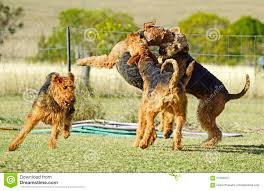 lots of dogs together. Contemporary Lots Download Lots Big Dogs Playing Roughly Together Stock Image  Of  Animals Chasing In Of N
