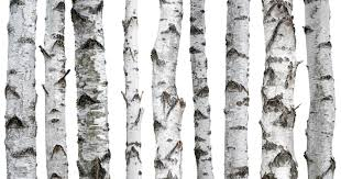 The targeted trees: 10- to 15-year-old birch trees are the
