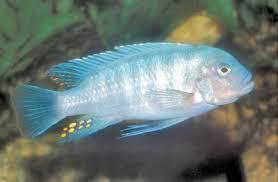 African Cichlid Aggression Chart Zebra Cichlids Facts About Mbuna Pseudotropheus Cichlids