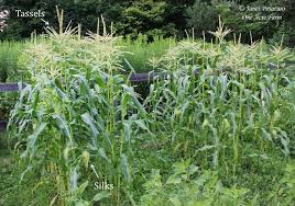 6 tips for growing corn in small spaces block planting as in this photo