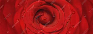 beautiful red rose flower background
