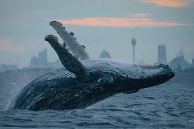 a humpback whale jumps out of the water with the sydney skyline in the background