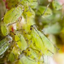 house plant pests