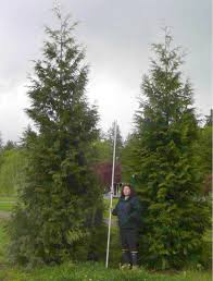 Tree Growth Rates Chart Uk How Fast Will My Thuja Green Giant Grow Thuja Green Giant