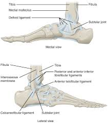 anatomy of selected synovial joints this figure shows the structure of the ankle and feet joints the top panel shows