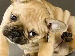 demodex mites dogs. Beautiful Demodex Uncovering And Treating Demodex Mites Social On Demodex Mites Dogs
