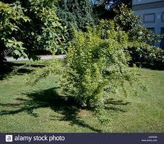 Eleutherococcus Sieboldianus Trs064578 Stock Photo