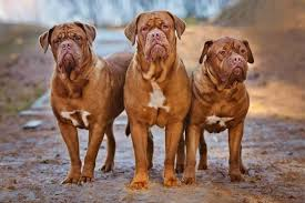 4 dogue de bordeaux