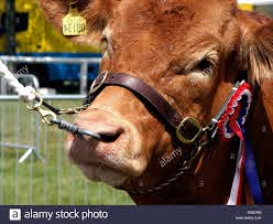 A brown bull wearing a harness being pulled by a nose ring Stock Photo -  Alamy