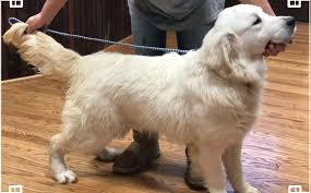 white golden retriever puppies for sale. Simple Puppies Ch English Creme Golden Retriever To White Puppies For Sale R