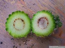 Du kannst mithilfe der pfeile weiter übersetzen. Kaktus Fault Stuck Fur Stuck Krankheiten Und Schadlinge Sukkulentenforum Von Markus Spaniol