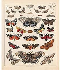 Amazon Com Vintage Butterflies Posters Prints Art Insects