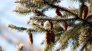 Look for an Evergreen Day | December 19 | KeepIn Calendar