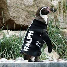 featherless penguin. Perfect Penguin Sad Farewell To Ralph The Wetsuit Wearing Penguin Intended Featherless Penguin F