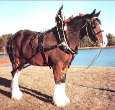 draft horse show harness smucker harness company horse harness for sale at Horse Harness