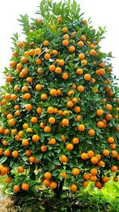Citrus  Fukushu KumquatKumquat Tree Not Bearing Fruit