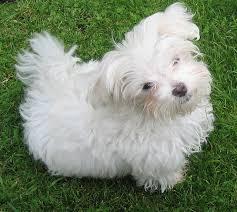 silky dog white. the appearance of maltese silky dog white